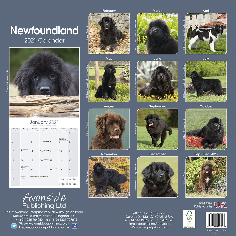 Newfoundland Dog 2020 Calendar