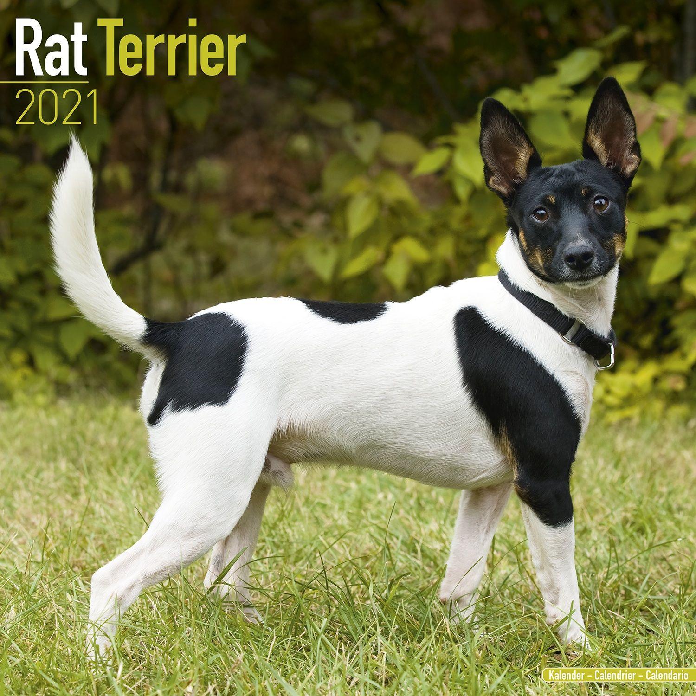 Calendrier Agility 2021 Rat Terrier Calendar, Dog Breed Calendars | Pet Prints Inc